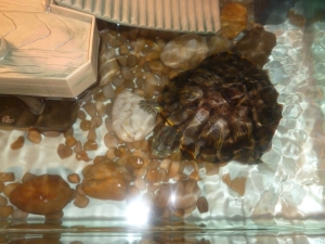 Terrapin saved from the menu by our friends. They have named him Leonardo after the mutant ninja